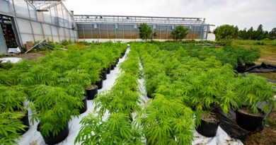 $150 million worth of cannabis seized in Project Green Sweep
